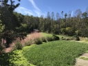 Muhly grass